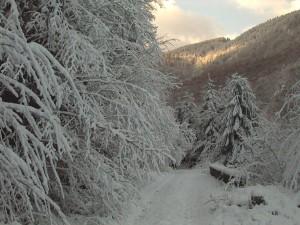 Coronamentul arborilor sustine zapada
