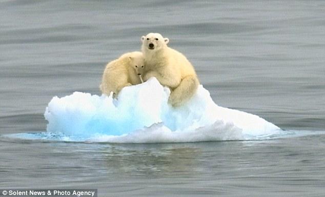 Topirea ghetarilor poate cauza disparitia ursilor polari