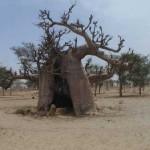 Baobabul