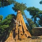 Sequoia Giganteea