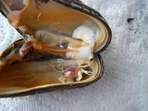 Crabul Pinnotheres-pisum adapostit in interiorul unei scoici