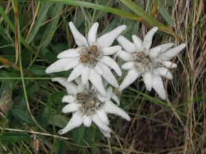 Floare de colt (Leontopodium Alpinum)