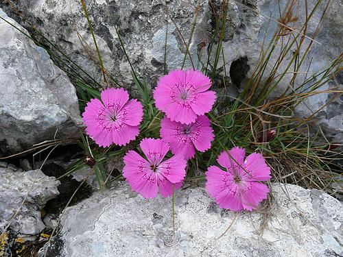 Flori Celebre Din Muntii Romaniei Profu De Geogra