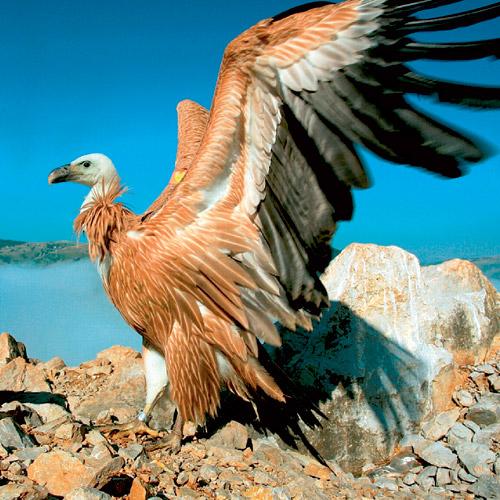 Vulturul Grifon