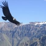 Condorul