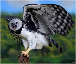 Vulturul Harpie