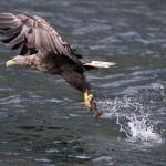 Vulturul codalb mare