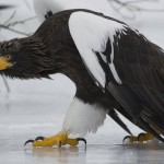 Vulturul de mare al lui Steller.