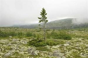 Cel mai batran copac din lume
