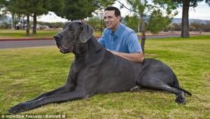 Cel mai mare caine din lume 2
