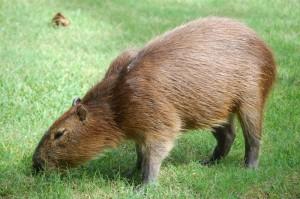 Cel mai mare rozator din lume(Capibara)