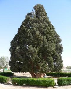 Chiparosul lui Zoroastru