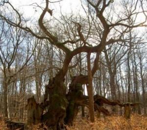 Stejarul Kongeegen