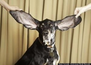 cainele cu urechile cele mai lungi