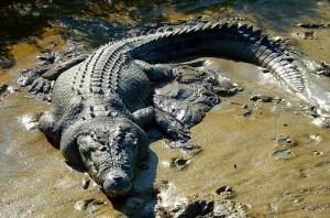 crocodilul-de-apa-sarata