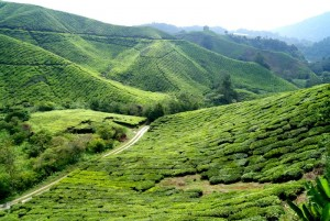 Plantatie de ceai in Malaiezia