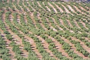 Plantatie de maslin in Spania