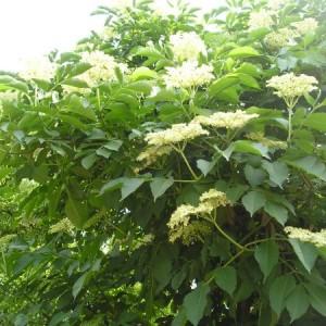 Arbust de soc - Materie prima pentru socata