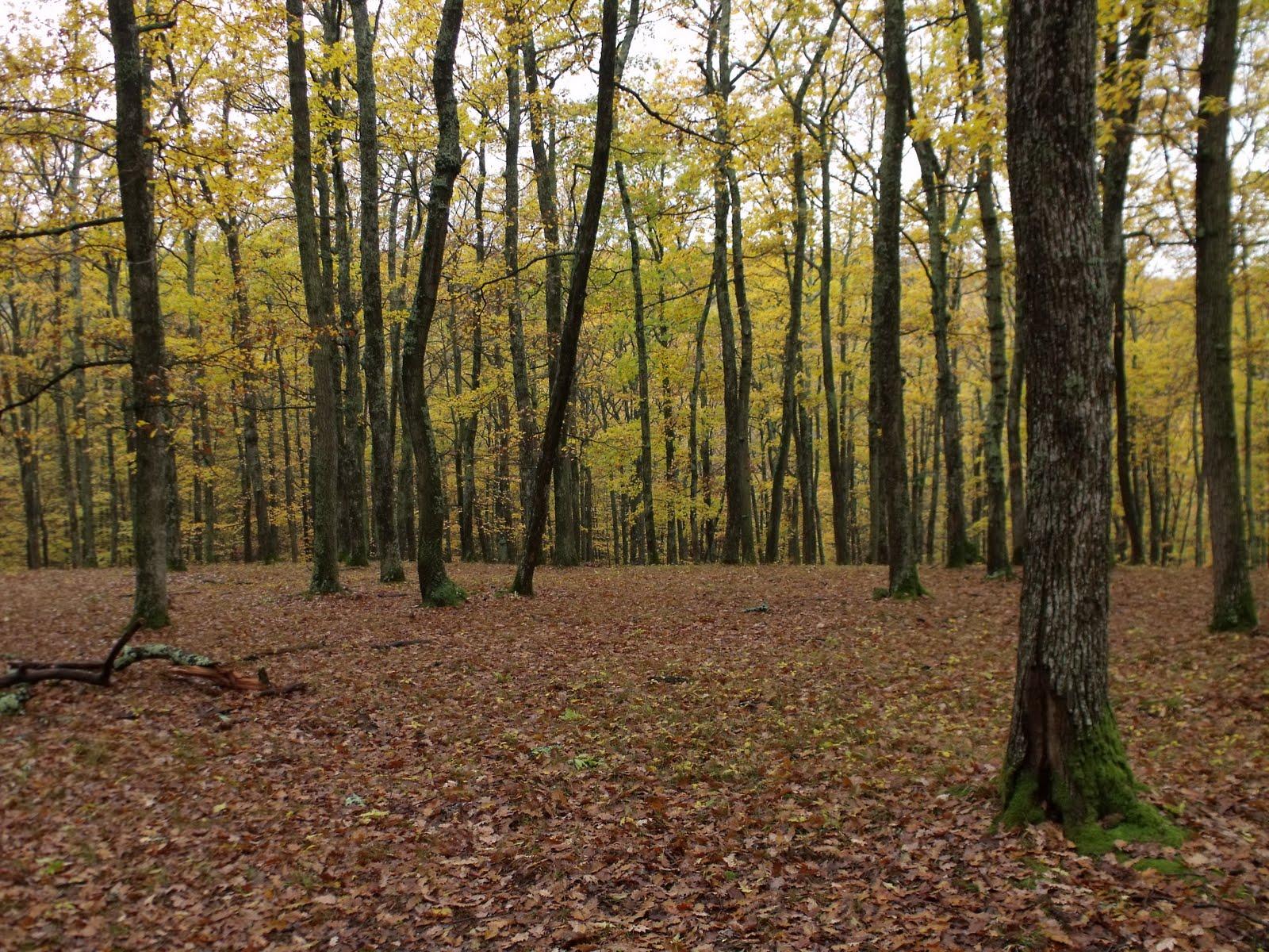 Padure de stejari