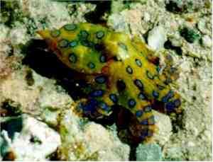 Cea mai veninoasa caracatita din lume