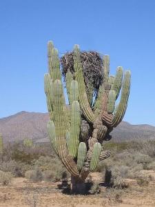 Cel mai mare cactus