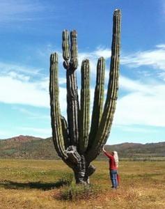 Cel mai mare cactus din lume