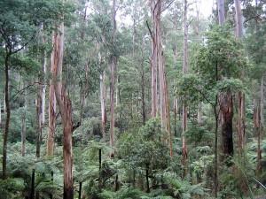 Padure de eucalipt