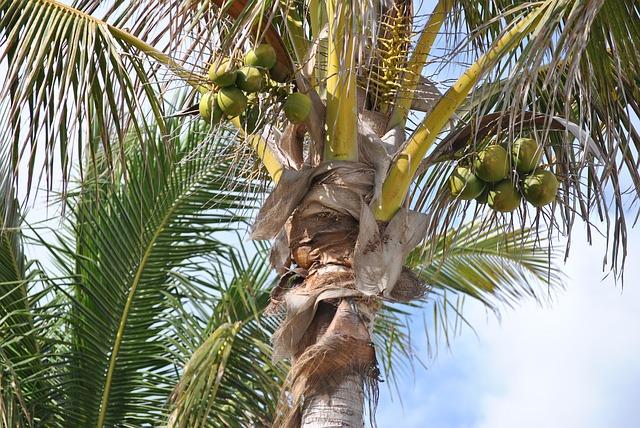 arborele de cocos