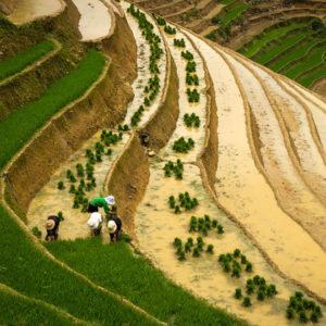 Plantarea orezului pe terase Sapa din Vietnam