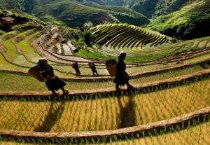 terase cu orez pe versant