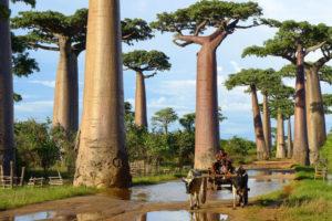 madgascar insula baobabi